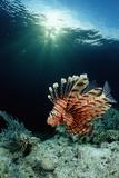 Lionfish or Turkeyfish (Pterois Volitans), Indonesia. Reproduction photographique par Reinhard Dirscherl