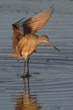Marbled Godwit with Raised Wings Reproduction photographique par Hal Beral