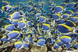 Powder Blue Tang (Acanthurus Leucosternon) Reproduction photographique par Reinhard Dirscherl