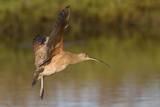 Long-Billed Curlew Landing Reproduction photographique par Hal Beral