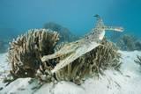 Saltwater Crocodile Swimming near a Coral Reef (Crocodylus Porosus), Micronesia, Palau Fotografie-Druck von Reinhard Dirscherl