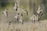 Flock of Short-Billed Dowitchers in Flight Reproduction photographique par Hal Beral