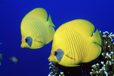 Masked Butterflyfish Egypt, Africa, Red Sea. (Chaetodon Semilarvatus) Reproduction photographique par Reinhard Dirscherl