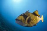 Titan Triggerfish (Balistoides Viridescens) Reproduction photographique par Reinhard Dirscherl