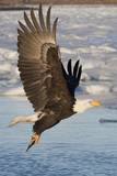 Bald Eagle with Fish in it's Talons Reproduction photographique par Hal Beral