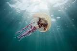 Mauve Stinger Jellyfish (Pelagia Noctiluca), Cap De Creus, Costa Brava, Spain Fotografie-Druck von Reinhard Dirscherl