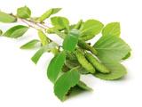 Green Birch Leaves Isolated on White Valokuvavedos tekijänä Africa Studio