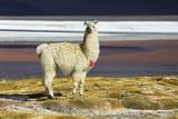 Alpaca in Salar De Uyuni, Bolivia Desert Fotografisk tryk af  padchas