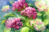 Drawing Blossoming Hydrangeas . Paper, Water Color Print by  vodolej