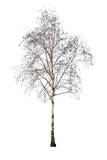 Birch without Leaves Isolated on White Photographic Print by Alexander Potapov