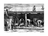 Sheep Shearing, Australia, 1886 Reproduction procédé giclée par A Sirouy