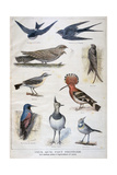 Birds That are Protected, and Helpful in Agriculture, 1897 Giclee Print by F Meaulle