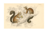 Red Squirrel (Sciurus Vulgari), Tree-Living Rodent Native to Europe and Asia, 1828 Giclée-tryk
