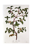 Tea: Branch of Camellia Sinensis, 1798 Giclée-Druck