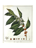 Sprig of Coffee (Coffea Arabic) Showing Flowers and Beans, 1798 Giclee Print