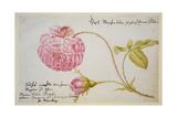 Album Sheet with a Rose, 1675 Giclée-vedos tekijänä Maria Sibylla Merian
