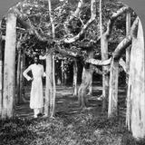 Among the Roots of a Banyan Tree, Calcutta, India, 1900s Impressão fotográfica por  Underwood & Underwood