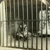 Captured Man-Eating Tiger Blamed for 200 Deaths, Calcutta, India, C1903 Impressão fotográfica por  Underwood & Underwood