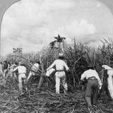 Harvesting Sugar Cane, Rio Pedro, Porto Rico, 1900 Valokuvavedos tekijänä BL Singley