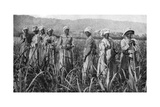 Women Tending Young Sugar Canes in Jamaica, 1922 Giclée-vedos