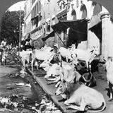 How Hindu Cows Enjoy Life on Harrison Street, Calcutta, India, 1900s Impressão fotográfica por  Underwood & Underwood