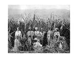 Sugar Cane Cutters, Jamaica, C1905 Giclée-vedos tekijänä Adolphe & Son Duperly