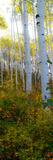 Aspen in the Day II Fotoprint van Kathy Mansfield