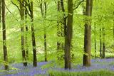 Common Bluebells (Hyacinthoides Non-Scripta) Flowering in a Beech Wood Premium fotografisk trykk av Adam Burton