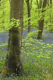 Bluebell Carpet in a Beech Woodland, West Woods, Wiltshire, England. Spring Reproduction photographique par Adam Burton