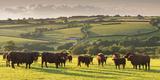 North Devon Red Ruby Cattle Herd Grazing in the Rolling Countryside, Black Dog, Devon Photographic Print by Adam Burton