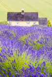 Lavender Fields, Cotswolds, Worcestershire, England, UK Reproduction photographique par Nadia Isakova