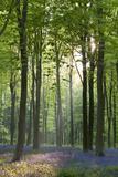 Bluebells and Beech Trees, West Woods, Marlborough, Wiltshire, England. Spring (May) Fotoprint van Adam Burton
