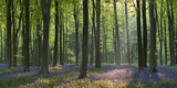 Bluebells and Beech Trees, West Woods, Marlborough, Wiltshire, England. Spring (May) Reproduction photographique par Adam Burton