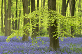 Bluebells and Beech Trees in West Woods, Wiltshire, England. Spring (May) Fotografisk trykk av Adam Burton