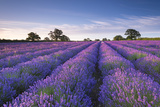 Lavender Field at Dawn, Somerset, England. Summer (July) Fotografie-Druck von Adam Burton