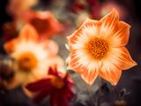 Bright Summer Flower under Rain Fotografisk trykk av Alexey Rumyantsev