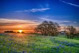 Texas Bluebonnet Wildflower Spring Field at Sunrise Photographic Print by  leekris
