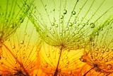 Dandelion Flower Lámina fotográfica por  Alekss