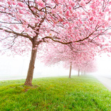 Sakura Flowers in the Early Misty Morning Photographic Print by science photo