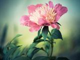 Summer Flower Closeup Fotografisk trykk av Alexey Rumyantsev