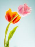 Two Spring Tulips at Blue Background Fotografisk trykk av Alexey Rumyantsev