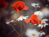 Red Poppy Flowers and Wild Daisies Fotografisk trykk av Alexey Rumyantsev
