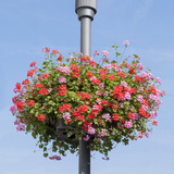 Red and Pink Geranium Basket on Lamppost Photographic Print by  YellowPaul