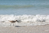 Sandpiper Shore Bird Walking in Ocean on Beach Photographic Print by Christin Lola