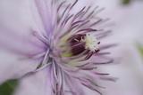 Clematis Flower Detail Impressão fotográfica por Anna Miller