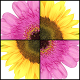 Square Collage of Sunflower and Gerbera Fotografie-Druck von  YellowPaul