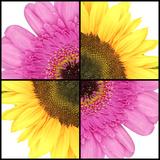 Square Collage of Sunflower and Gerbera Stampa fotografica di  YellowPaul