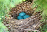 Robin's Eggs Gathered in Bird Nest in Tree Reproduction photographique par Christin Lola