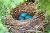 Robin's Eggs Gathered in Bird Nest in Tree Stampa fotografica di Christin Lola