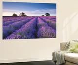 Lavender Field at Dawn, Somerset, England. Summer (July) Poster géant par Adam Burton
